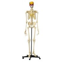 Squelette humain avec crâne articulé didactique en couleurs - A200.5